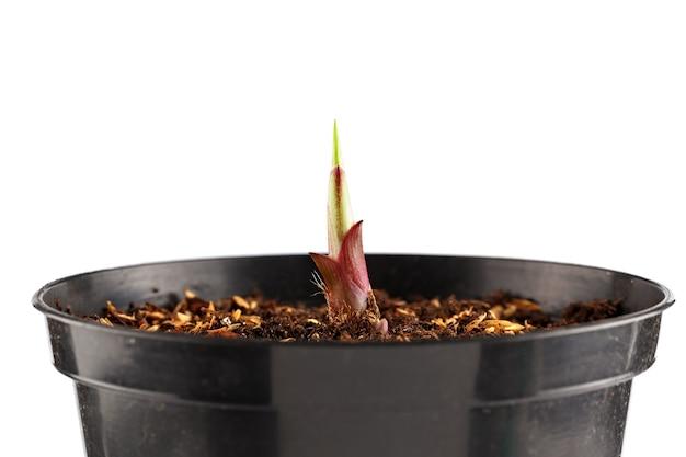 植木鉢の若い植物。白い背景で隔離
