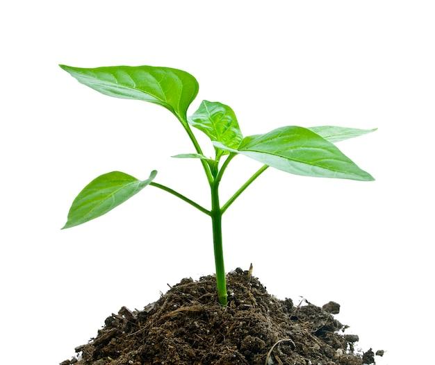 Молодое растение, изолированные на белом фоне