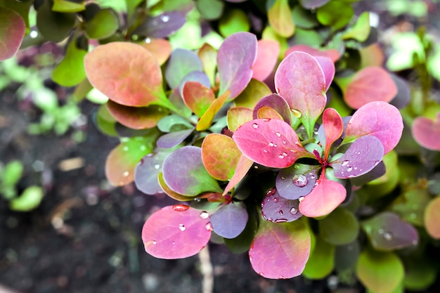 Молодое растение барбариса thunbergii atropurpurea весной