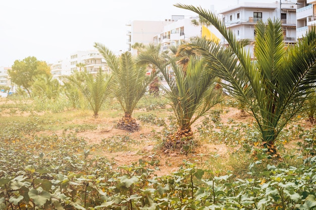 Young planted palm trees along the road
