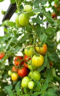 温室内のトマト水耕栽培植物の若い植物