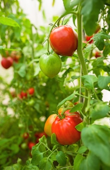 Young plants of tomato hydroponic plants in greenhouse