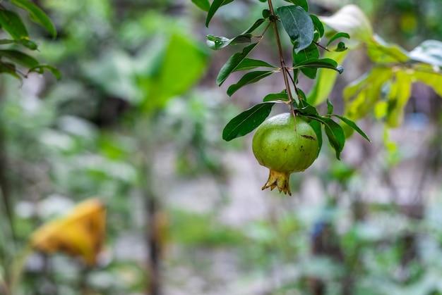 정원에서 어린 석류 열매를 닫습니다.