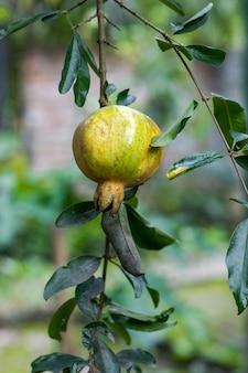 집 정원 안의 나무에 매달린 어린 석류 열매