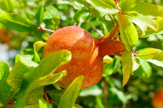 Young pomegranate fruits on the tree in fruit garden