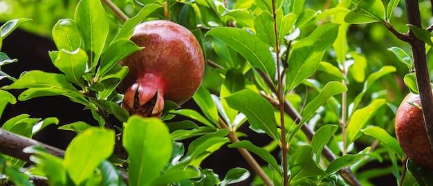 잎과 나무에 젊은 석류.석류 나무 선택적 초점입니다.