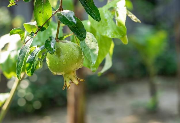 물 방울과 나무에 젊은 석류는 집 정원 안에 가까이