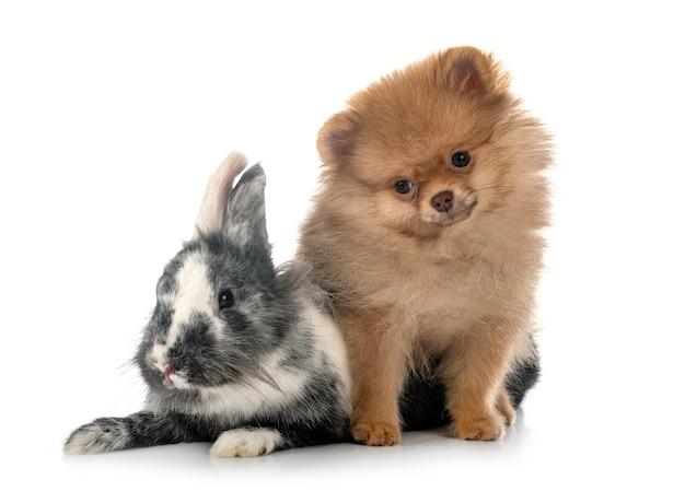 白の前に若いポメラニアンとウサギ