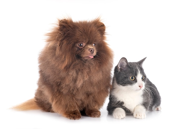 Young pomeranian and cat