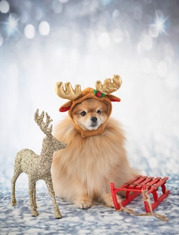 Young pomeranian in costume