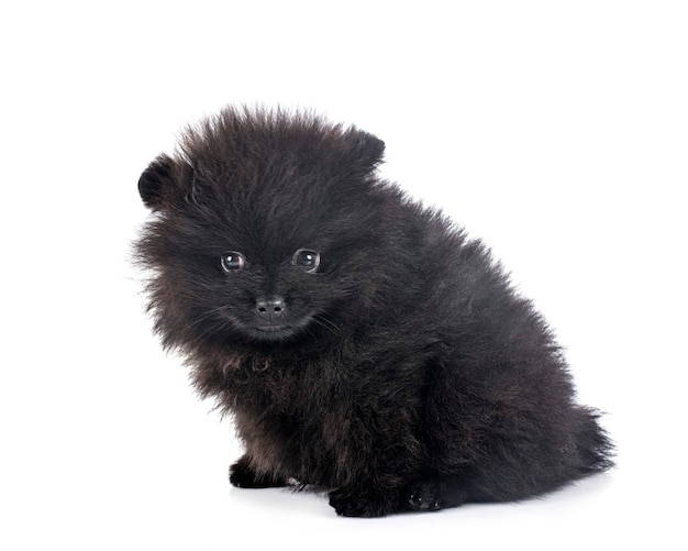 Young pomeranian in front of white wall