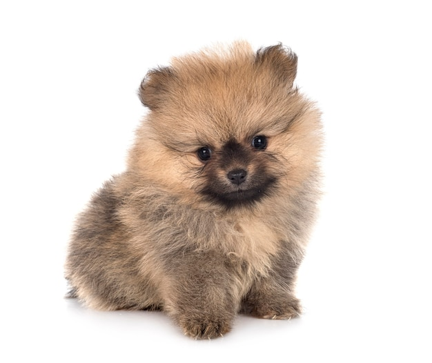 Young pomeranian isolated on white