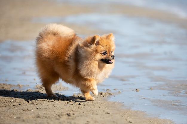 여름에 해변에 산책하는 젊은 포메라니안