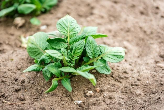 Молодой картофель, растущий в весеннем саду.