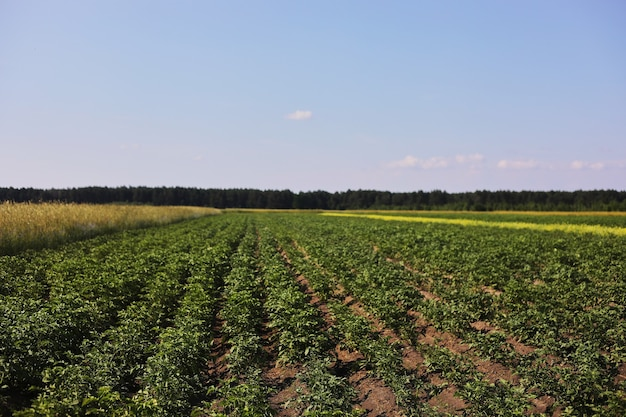 土に生えている若いジャガイモ植物。庭のジャガイモの茂み。有機栽培の庭の健康な若いジャガイモ植物。有機農業。緑のジャガイモの茂みのフィールド