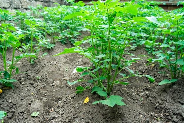 菜園で育つ若いジャガイモ植物。農業