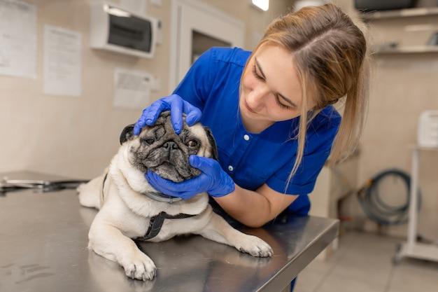 젊은 전문 여성 수의사 의사는 동물 병원에서 시험 전에 퍼그 개를 개최합니다.