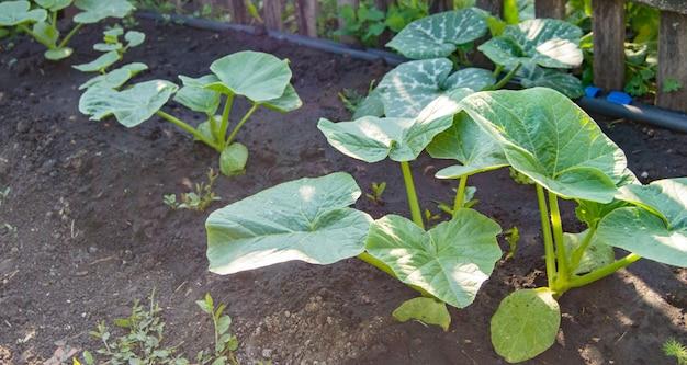 灌漑システムからの古い柵とホースに沿って、庭の土壌に若いカボチャの植物。