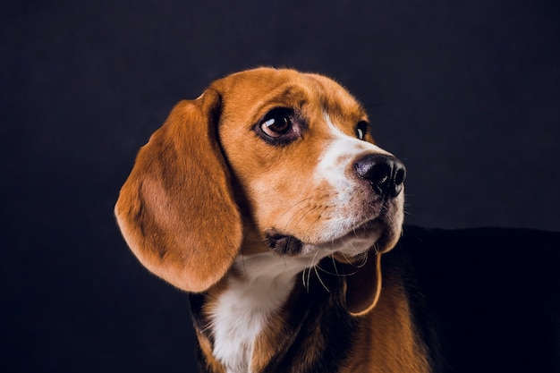 Young puppy, beagle dog, isolated on black background.