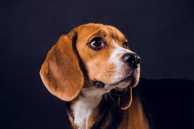 Молодой щенок, бигл собака, изолированных на черном фоне.