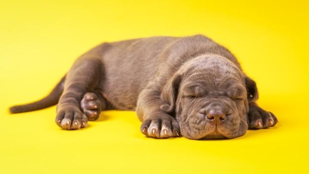黄色の背景に横たわっている若い子犬イタリアのマスチフの杖コルソ