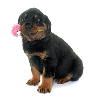 Young puppy rottweiler and flower