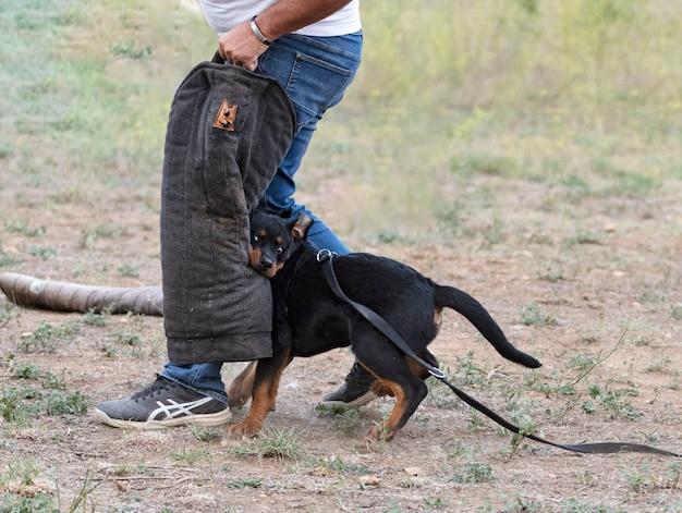 Тренировка молодого щенка ротвейлера на природе