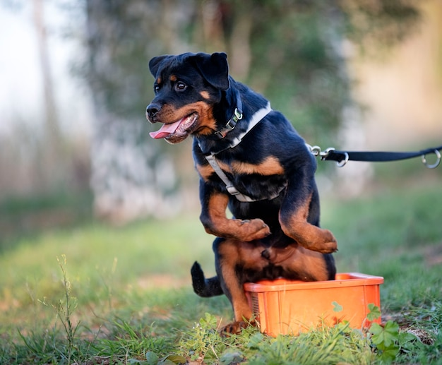Young puppy rottweiler training in the nature