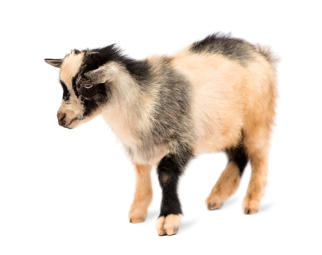 Young pygmy goat isolated, these photos were taken in benin, their red coloration comes from the local clay like dust.