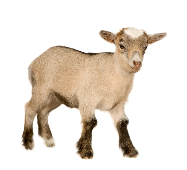 Young pygmy goat isolated