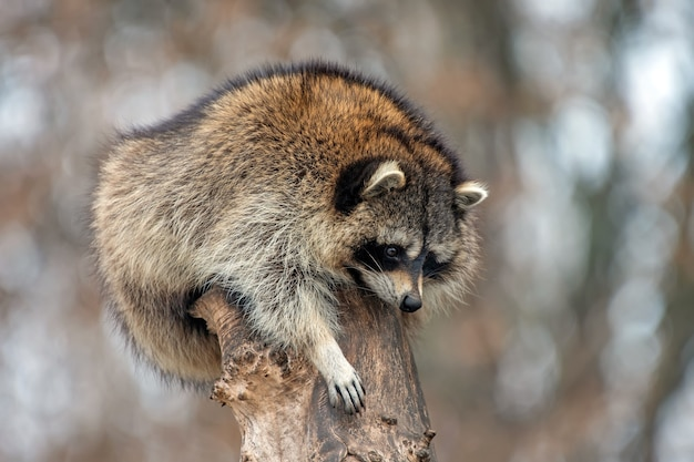 Молодой енот на верхнем дереве