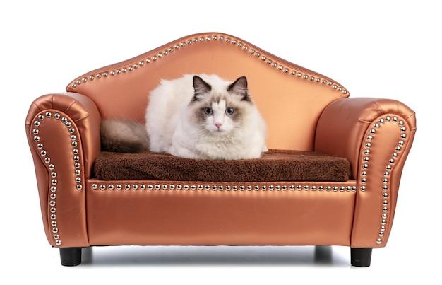 白い壁のソファに生後 6 か月の若いラグドール猫