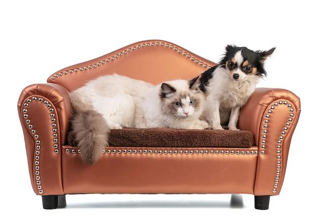 Молодой кот рэгдолл шести месяцев на диване с чихуахуа на белой стене