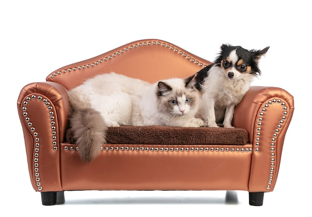 Young ragdoll cat six months old on a sofa with chihuahua on white wall