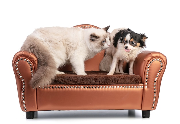 Young ragdoll cat six months old on a sofa with chihuahua who sticks out his tongue on white wall