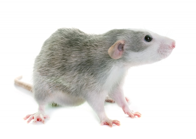 Young rat bicolor