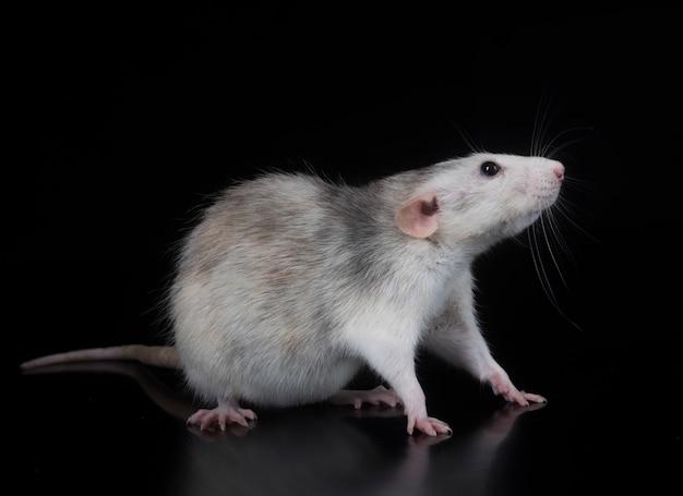 Young rat in studio
