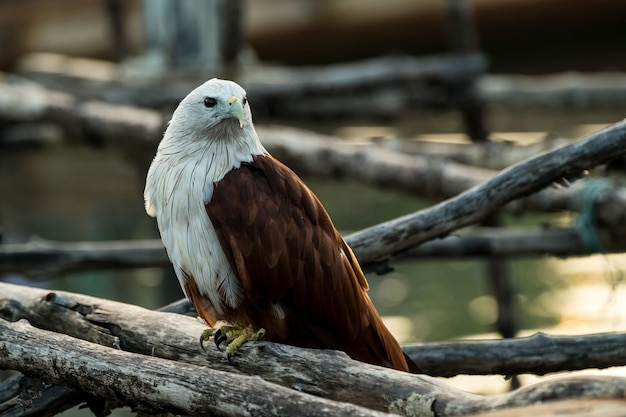 Young red-backed sea-eagle or brahminy kite.