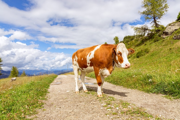 Молодой красный бык на дороге в итальянских альпах. итальянские доломиты. трентино-альто-адидже