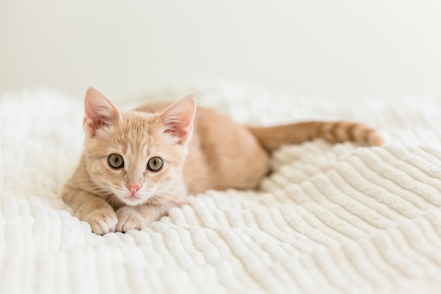Young red cat on a white bedspread