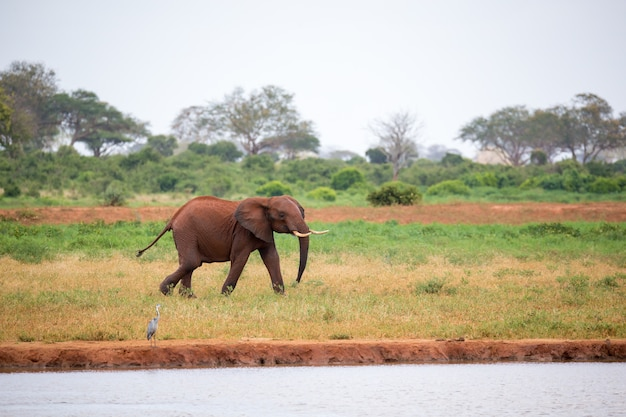 A young red elephant is running and playing in the grassland of the savannah