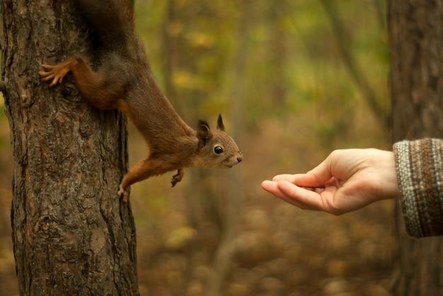 Молодая красная евразийская белка сидит на дереве и с любопытством тянется к женской руке