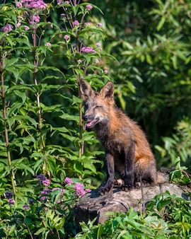 Молодая рыжая лиса сидит на скалах