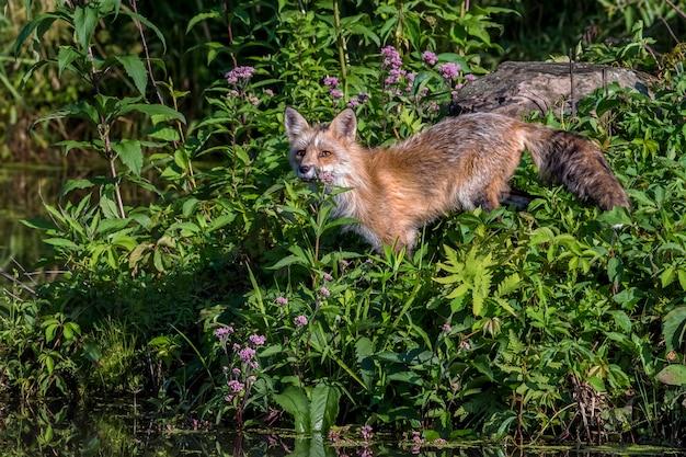 Молодая рыжая лиса стоит в цветах
