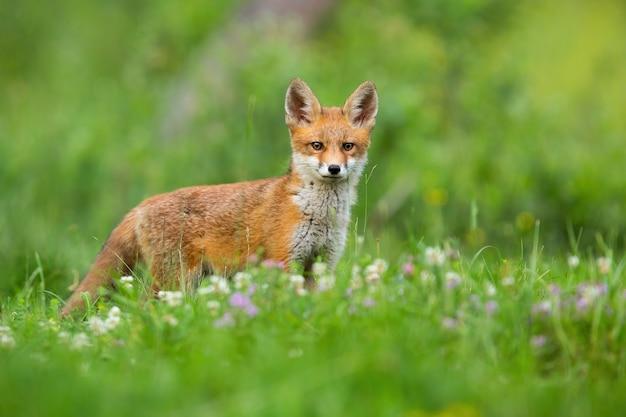 Молодой рыжий лис, стоя на лугу в летней природе