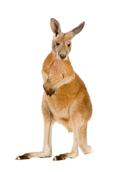 Young red kangaroo (9 months) - macropus rufus isolated