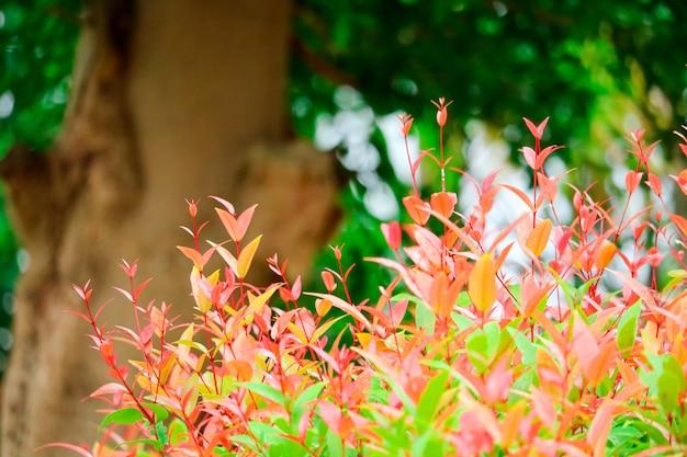 クリスティーナは雨季に生まれた若い紅葉