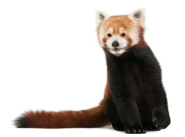 영 레드 팬더 또는 빛나는 고양이, 고립 된 백색에 ailurus fulgens