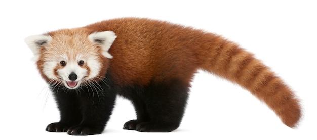 若いレッサーパンダや輝く猫、分離された白のailurus fulgens