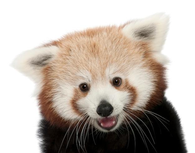 Young red panda or shining cat, ailurus fulgens on white isolated